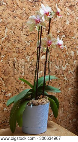 Orchid In A Blue Pot. Botanical Composition. Green Plant. Pale Yellow Speckled Phalaenopsis. Tropica
