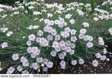 Foliage And Light Pink Flowers Of Dianthus Deltoides In May