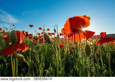 Red Poppy Flower In The Field. Wonderful Sunny Afternoon Weather Of Countryside. Blurred Nature Back
