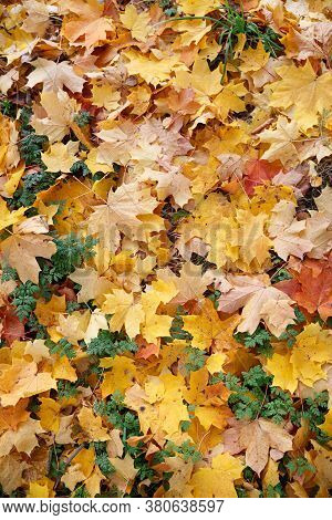 Many Multi-colored Maple Leaves Lie On The Ground In A Park. Top View On Yellow, Red, Green And Othe