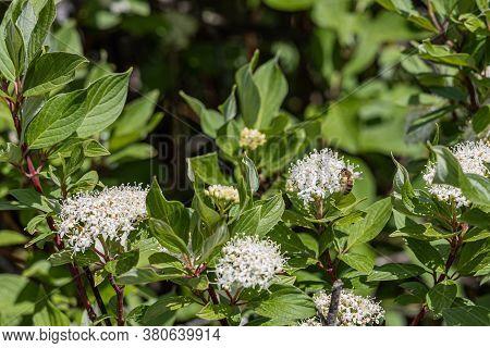 Beautiful Delicate Inflorescence Of White Flowers With Yellow Stamens Viburnum Lantana Or Wayfarer O