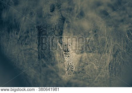 Fine Art Image Of Wild Male Leopard Or Panther In Jungle At Jhalana Forest Reserve Or Leopard Reserv