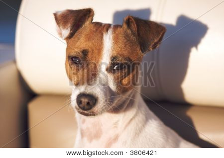 Jack Russell Terrier Dog in the Afternoon Sun poster