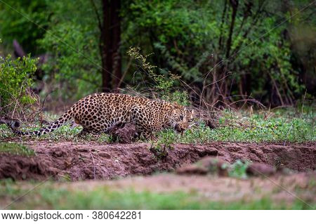 Wild Male Leopard Or Panther In Monsoon Green At Jhalana Forest Reserve Or Leopard Reserve Jaipur Ra