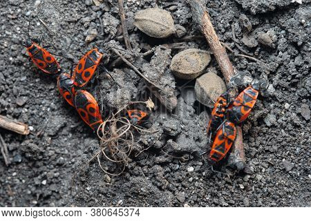 Pyrrhocoris Apterus. Insect Mating Period.pyrrhocoris Apterus. Insect Mating Period