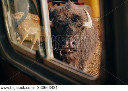 The Bull Is A Symbol Of 2021. The Black Bull Looks Into The Frame. Bull On An Ecological Farm