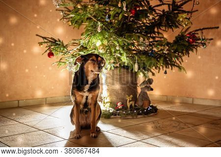A Dog Of The Transylvanian Breed Sits Near A Decorated Christmas Tree. The Animal Is Waiting For The