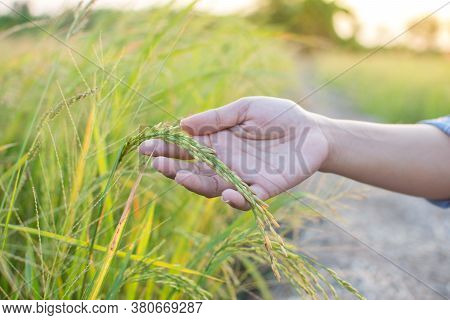 Rice Grains In Rice Paddies In The Hands Of Farmers, Inspecting Paddy Yields, Collecting Data For Ri