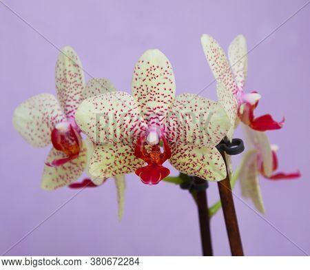 Macro View Of Yellow Orchid. Decoration Botanical Composition. Green Plant. Pale Yellow Speckled Pha