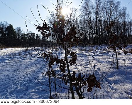 Trees In The Forest In Winter On A Sunny Day, Moscow