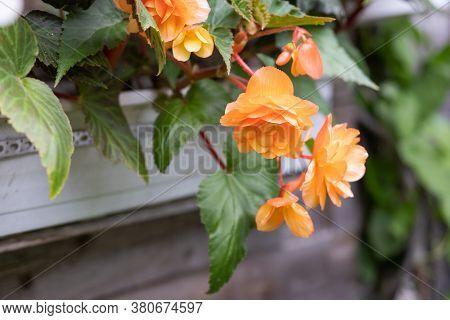 Orange Bright Flowers Of Tuberous Begonias , Blooming In Garden.apricot Begonia Plant.blooming Begon