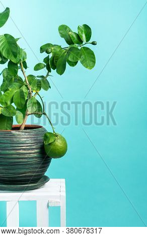 Home Gardening: Lemon Tree In A Large Green Pot On A Blue Background.