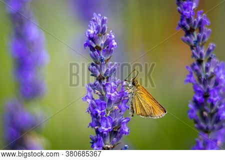 Small Skipper Butterfly (thymelicus Sylvestris) On Lavender