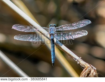 Blue Dasher Dragonfly Male Perched On Plant Stem. Alameda County, California, Usa.