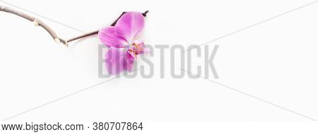 One Pink Phalaenopsis Orchid Flower Tropical Garden Isolated On White Background.