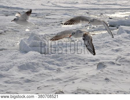 Seagulls Fly Over The Frozen Sea. Ice And Snow.