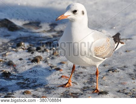A Seagull Stands On The Shore In Sea Foam.