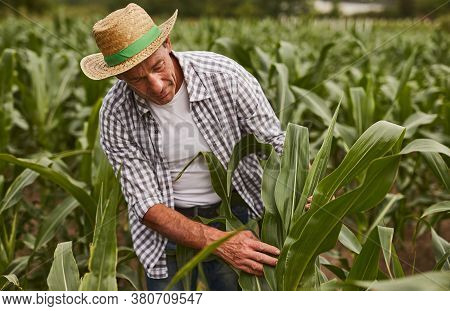 Mature Man In Checkered Shirt And Hat Touching Green Leaves Of Corn While Working On Farm On Summer
