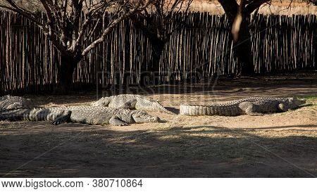 Many Large Nile Crocodiles Lie On The Ground At A Crocodile Farm In South Africa. Crocodylus Nilotic