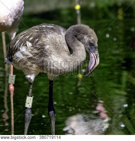 Greater Flamingo Baby (phoenicopterus Roseus) Is The Most Widespread And Largest Species Of The Flam