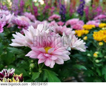 Pink Daisies Against The Background Of Yellow Flowers In A Floral Display Case Selective Focus