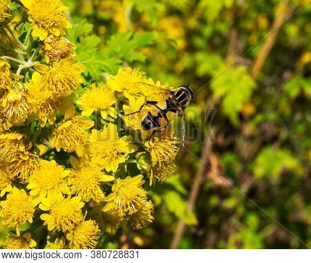 Bumblebee Collecting Nectar From Small Blooming Yellow Chrysanthemums