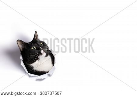 Black-and-white Cat Head In Hole In The White Paper And It Looking Up In Surprise. Cat Attentively L