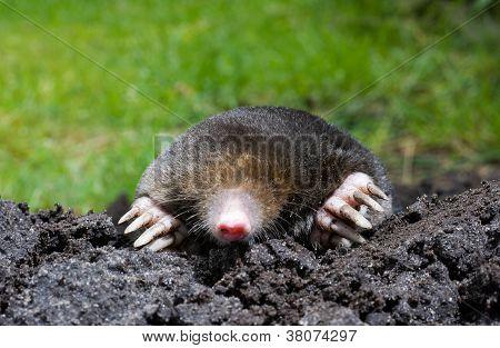 Mole In Sand
