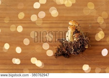 nature, environment and edible mushrooms concept - variegated bolete on wooden background
