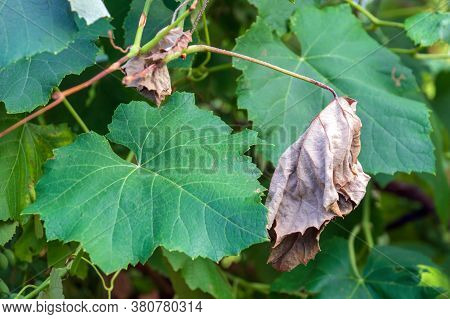 Bacterial Diseases Of Grapes Appear As Lesions Or Drying Of Green Leaves