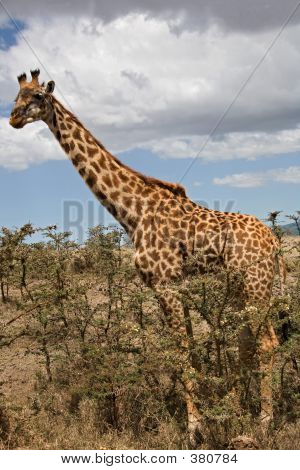 animals giraffe. poster
