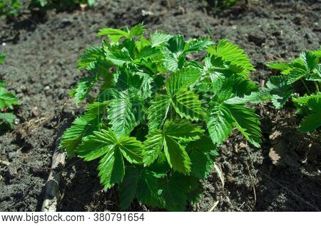 Strawberry Bush In Early Spring On A Background Of Black Soil. Strawberry Leaves Without Flowers And