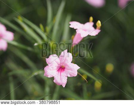 Cayenne Jasmine ,periwinkle, Catharanthus Rosea, Madagascar Periwinkle, Vinca, Apocynaceae Name Flow