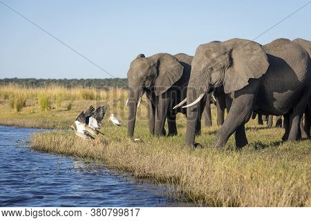 Family Of Elephants Walking To River Spooking Egyptian Geese In Chobe River Botswana