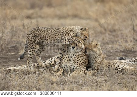 Female Cheetah And Two Juvenile Cubs Showing Affection In Dry Season In Ndutu Tanzania