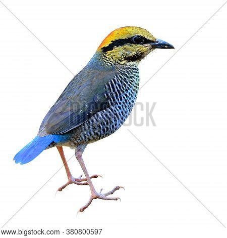Blue Pitta (hydrornis Cyaneus) The Beautiful Blue Bird With Yellow To Orange Head And Little Wings F