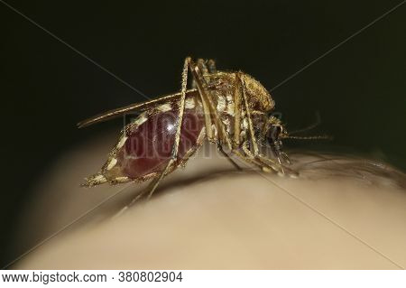 Mosquito Culex Pipiens Kompleks Vectors Of West Nile Virus  Sucking Blod
