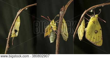 Berger's Clouded Yellow Colias Alfacariensis Drying Its Wings  After Emerging From Its Chrysalis