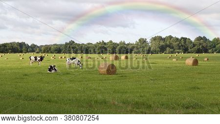 Cows Graze In The Field After The Rain.
