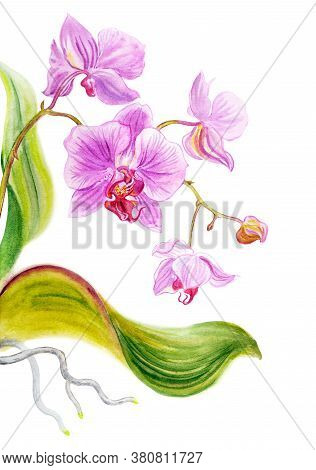 Pink Phalaenopsis With Leaves And Roots, Watercolor Illustration, Print For Art Poster And Other Des