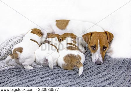 Feeding Tired Dog Jack Russell Terrier Falls Asleep While Feeding, His Puppies On A Knitted Blanket