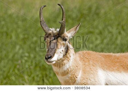 Pronghorn Antelope Eyes The Camera Warily