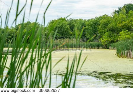 Many geese swim in summer pond. Canadian Geese swim in a quiet pond with green duckweed.
