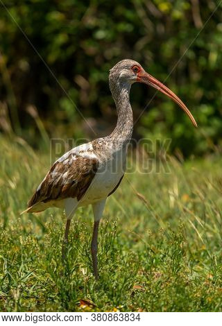 Photograph Of A Juvenile White Ibis Foraging For Food In A Grasslands In Everglades National Park In