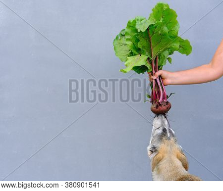 Human Hand Holding Unwashed Beetroot. Dog Gnaws Beetroot. Fresh Harvested Beetroot For Vegetarian Me