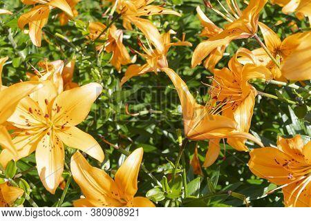 Colorful Flower. Agriculture Concept Design. Beautiful Flower In Tropical Garden. Colorful Flower. F