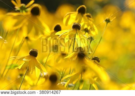 Cutleaf Coneflower Aster flowers Nature background Nature background Cut leaf Nature background yellow flowers Close-up flower summer Nature background Wildflowers sun Nature background Cut-leaf Nature background garden morning Nature background.