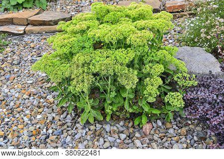 Succulent Sedum (hylotelephium Spectabile) Unblown Flower Buds In Alpine Garden. Тhis Perennial Plan