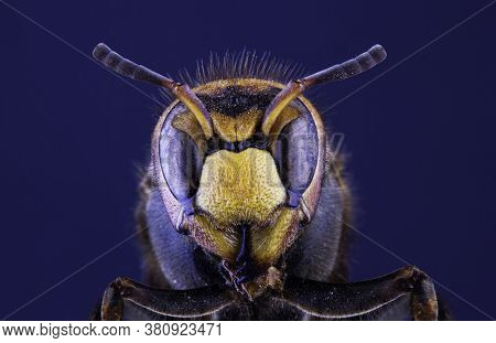 Portrait Of A Hornet Insect Close Up On A Dark Background