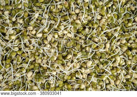Sprouted Mung Beans. Healthy Food. Natural Background Of Sprouted Mung Beans.